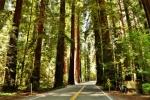 redwoods (2)