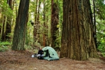 redwoods (3)