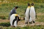 pinguino rey (2)