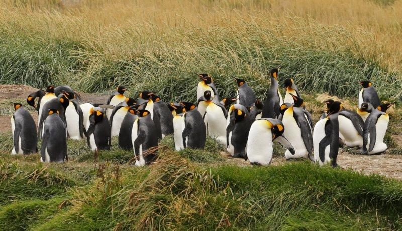 pinguino rey (1)