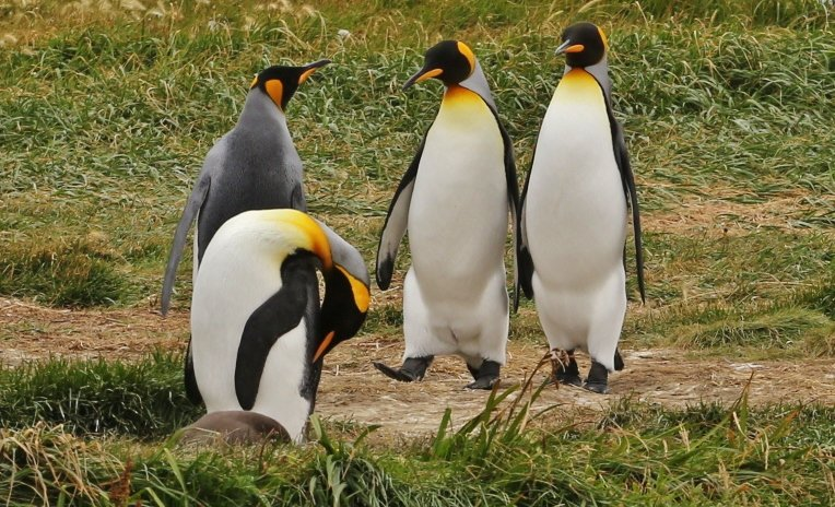 pinguino rey (3)